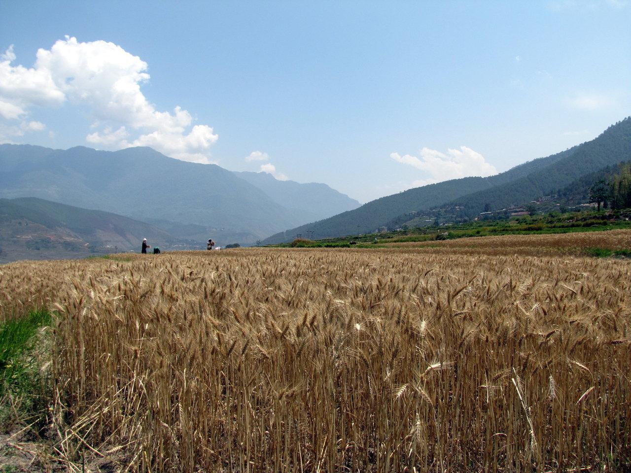 Bhutan Travel - Paddy Fields