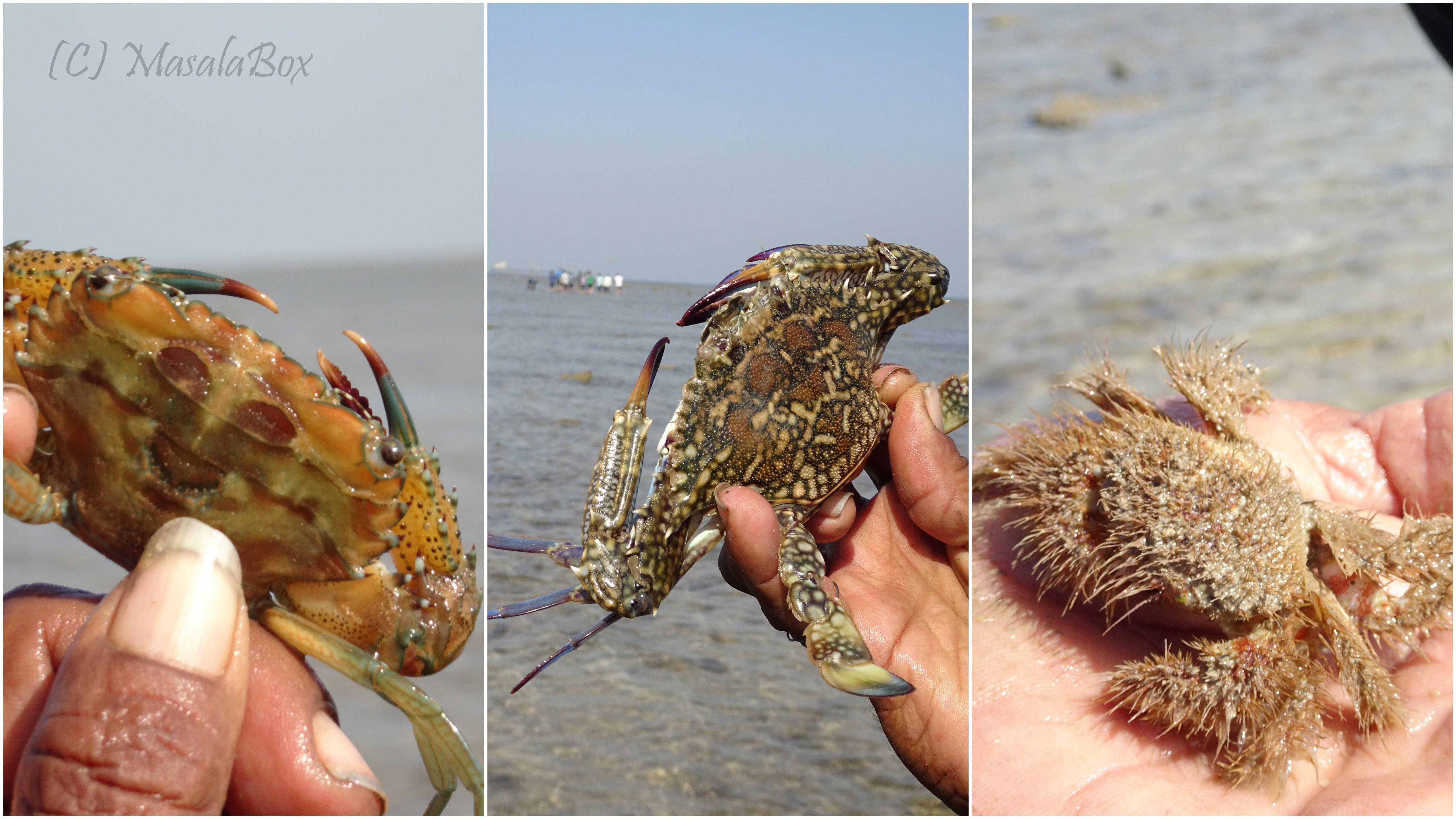 Jamnagar crab