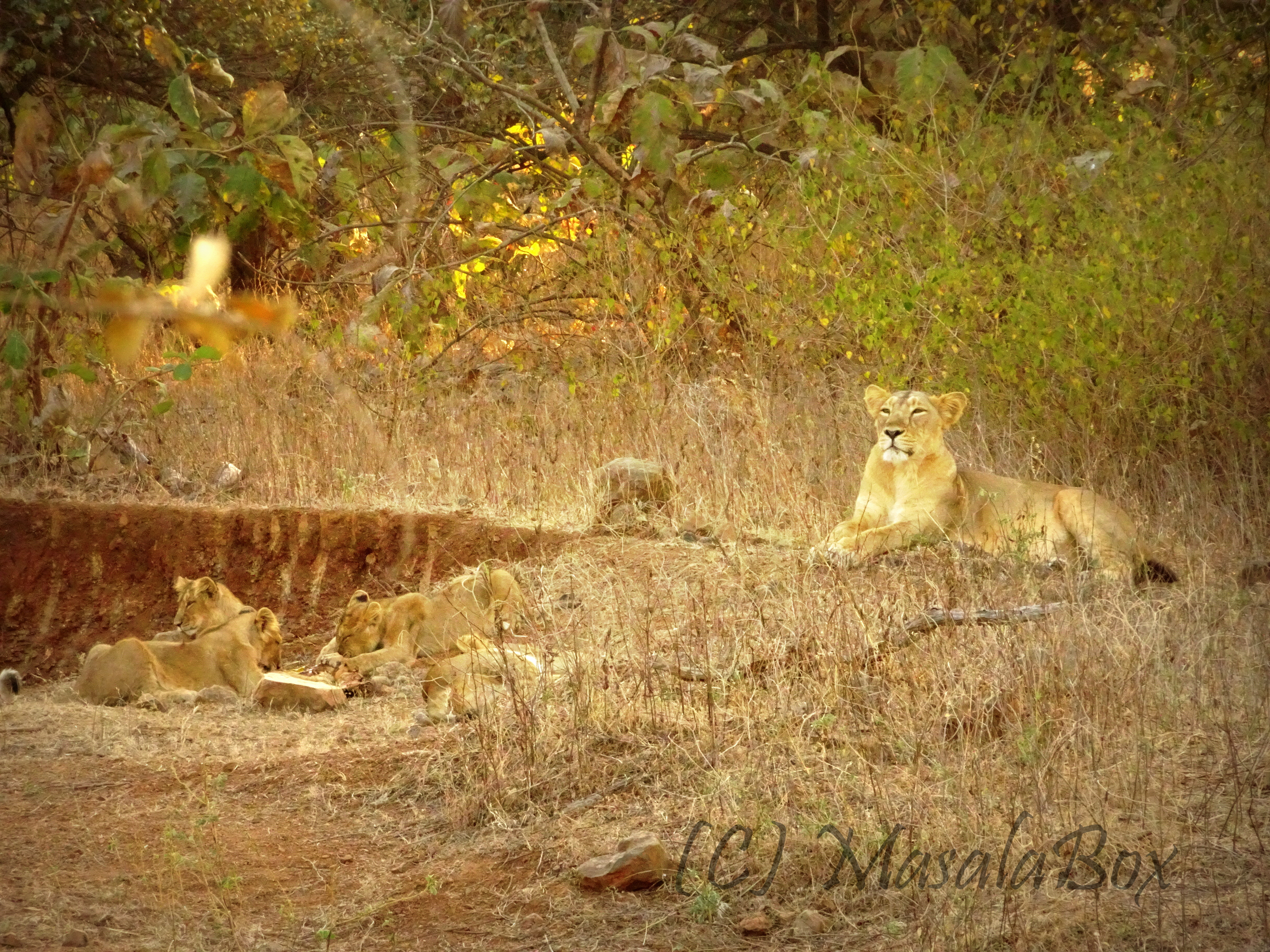 Lioness mommy with her kids