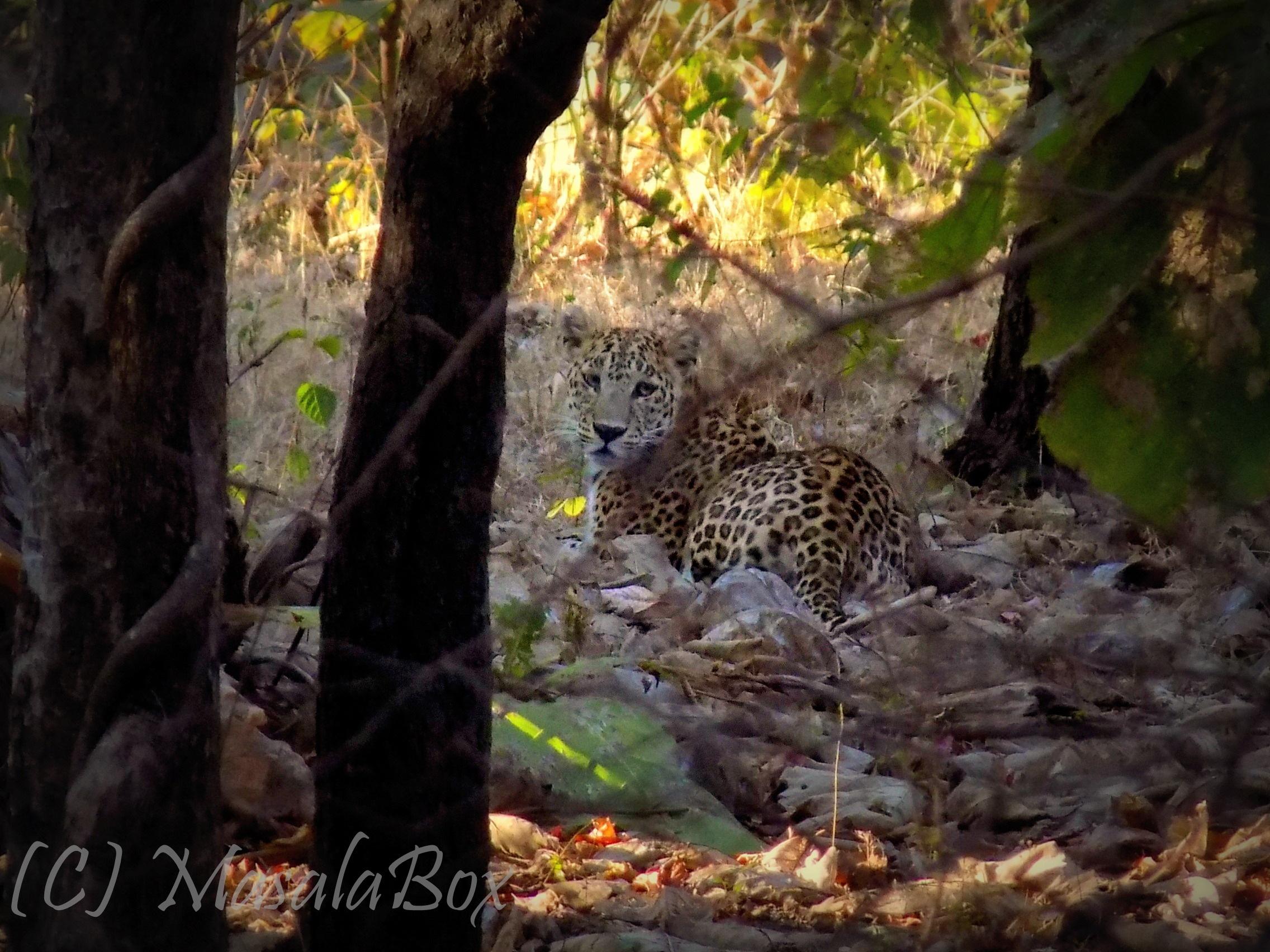 leopard gir