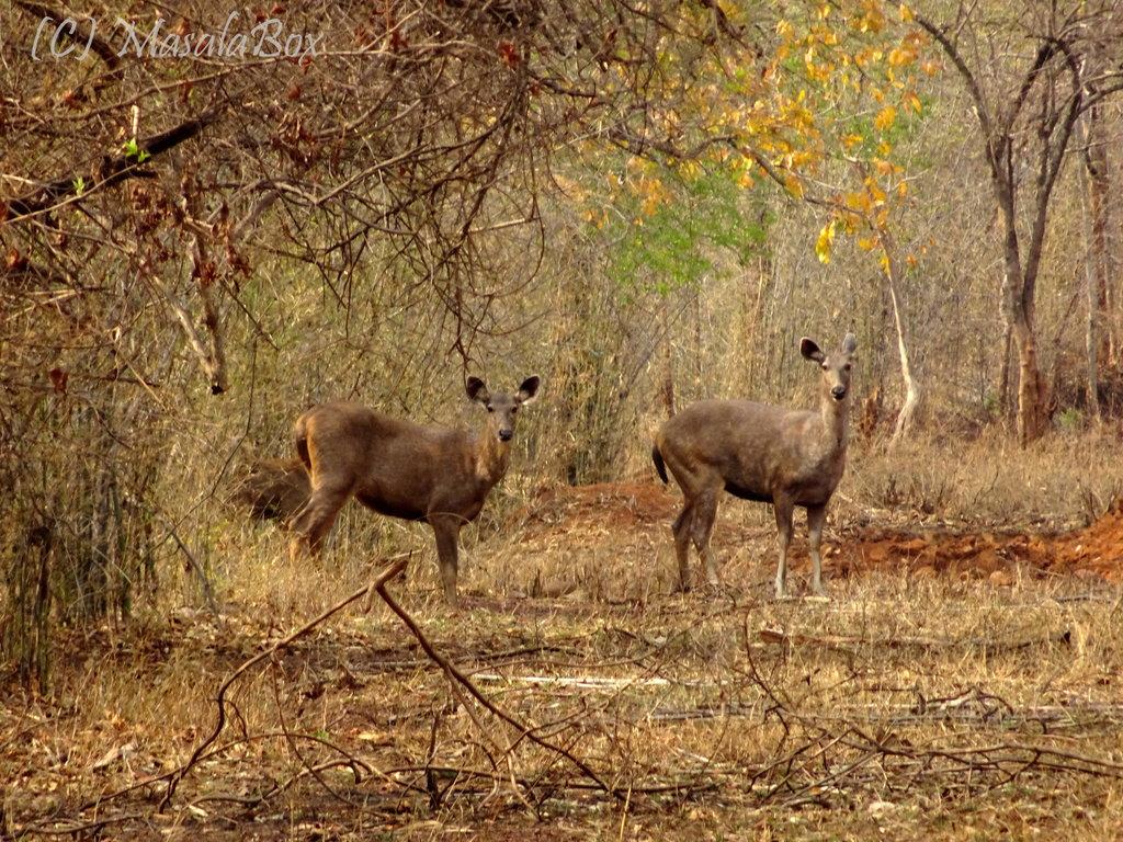 Tadoba - Sambar deer