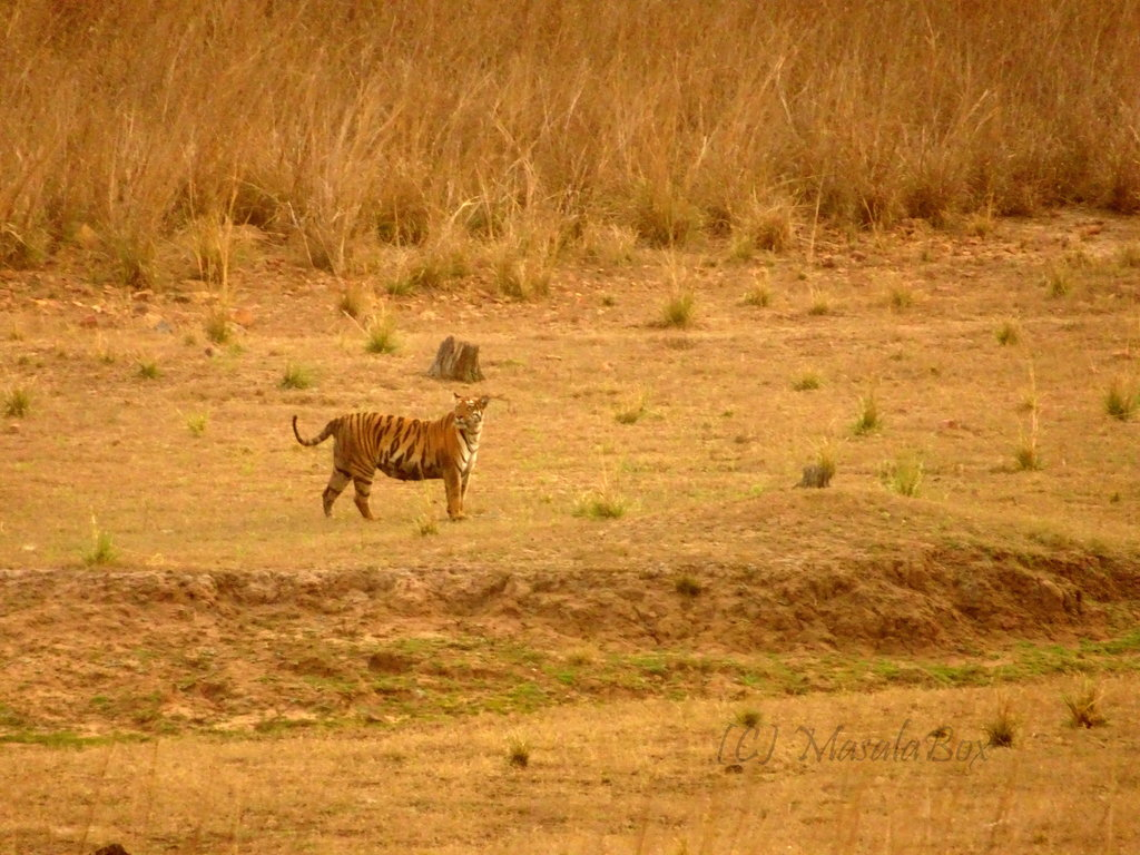 Tadoba - Sonam looking for her cub