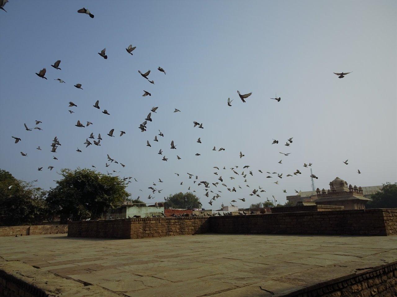 Pigeons in flight - Tansen Tomb