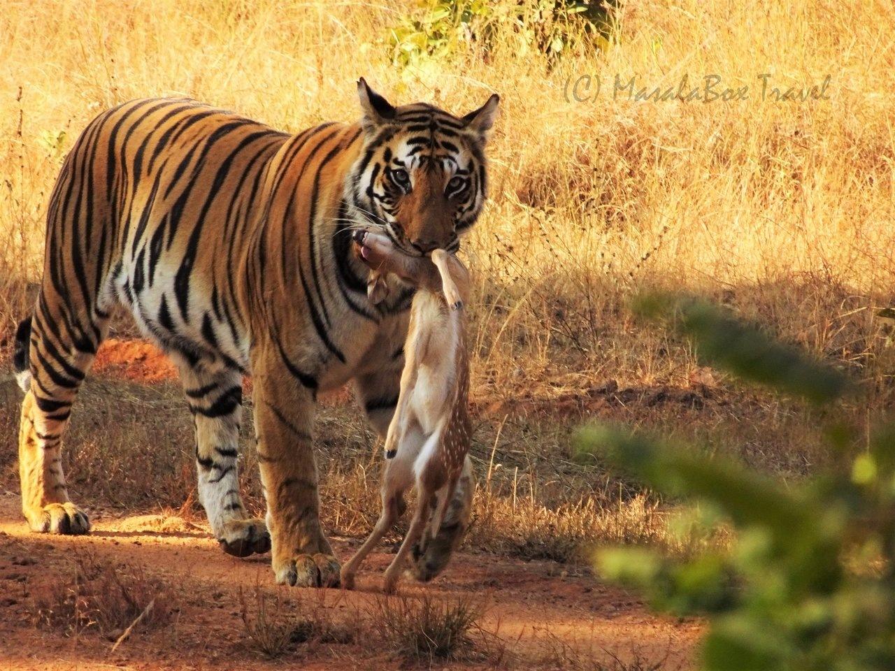 Tiger With Kill Bandhavgarh