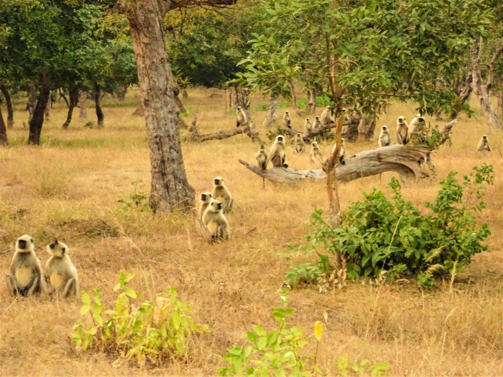 Bandhavgarh Langurs