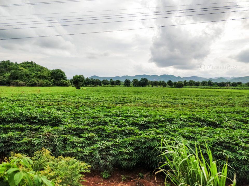 tapioca fields death railway