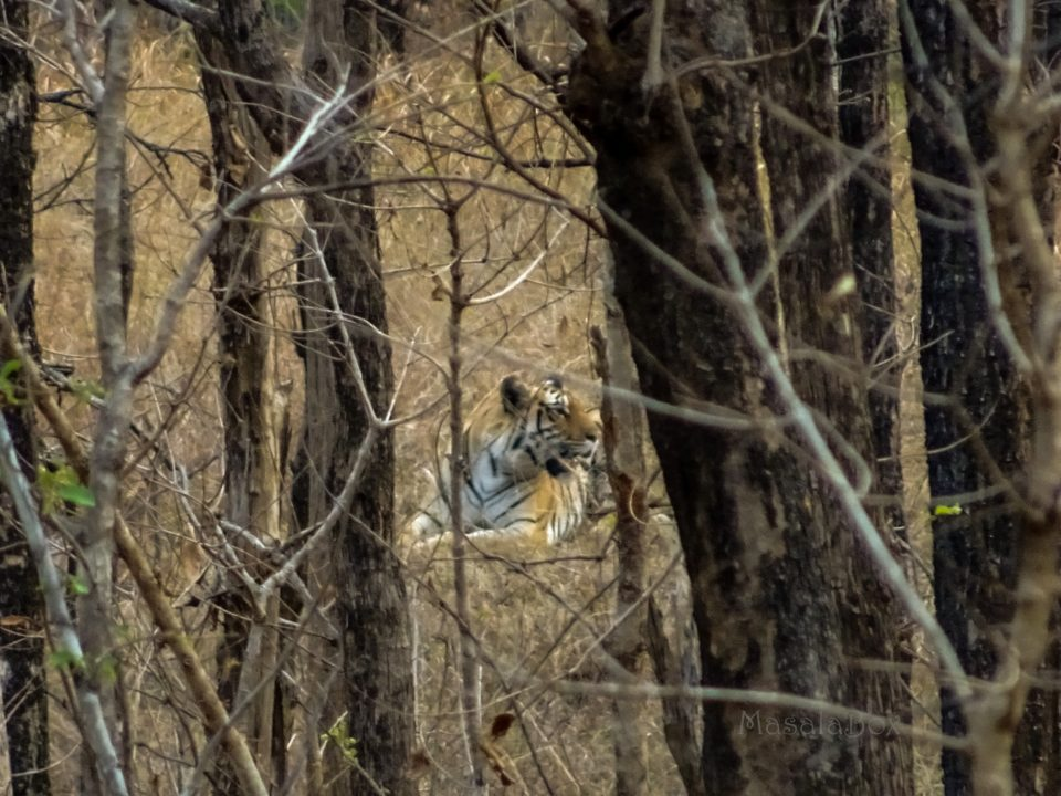 Tiger at Pench National Park