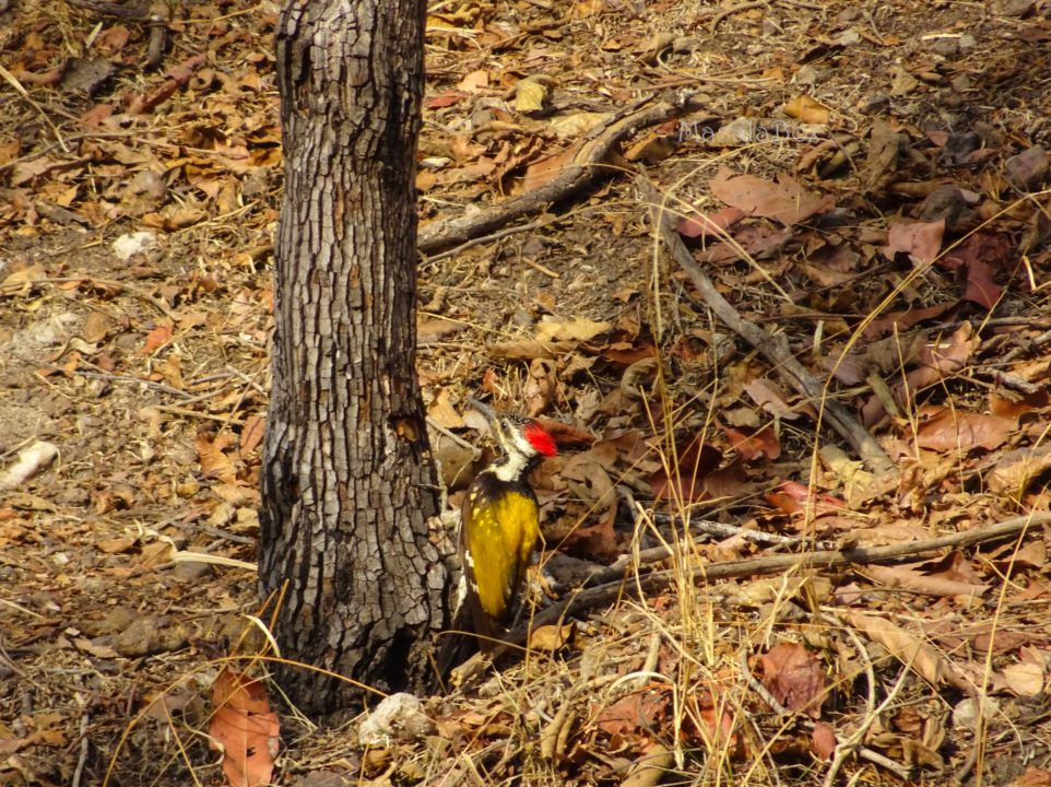 Golden Backed Woodpecker