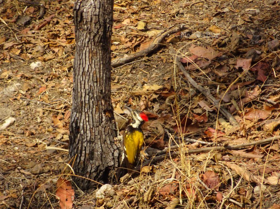Golden Backed Woodpecker