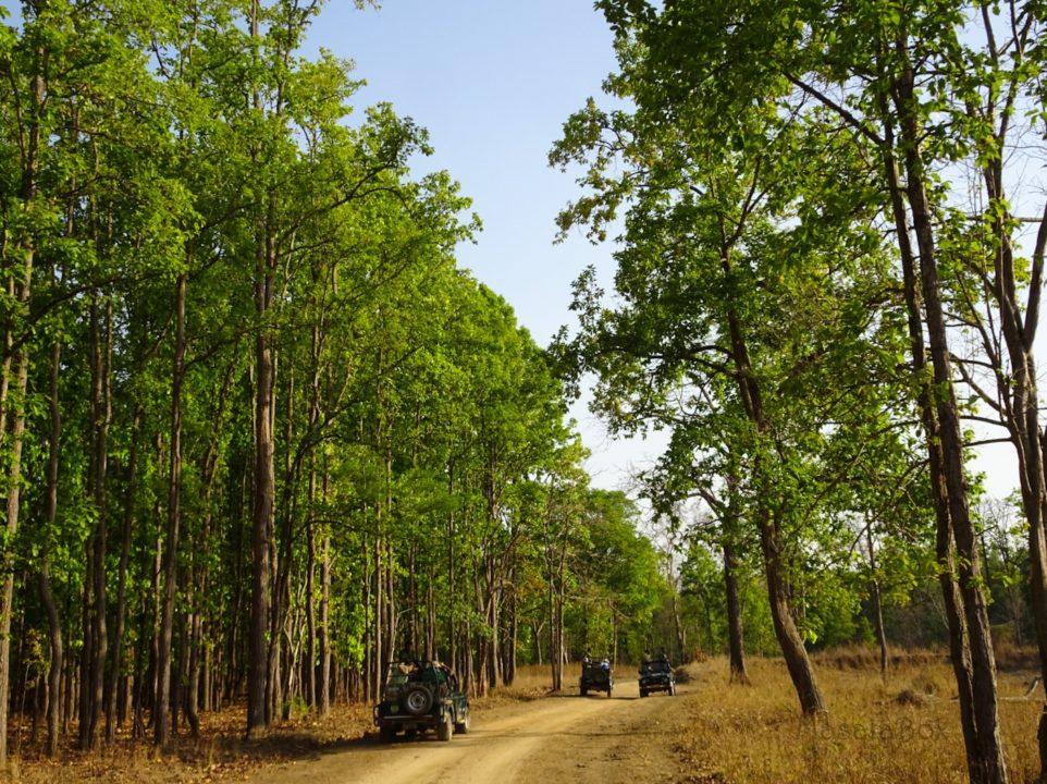 sal tree Kanha National PArk