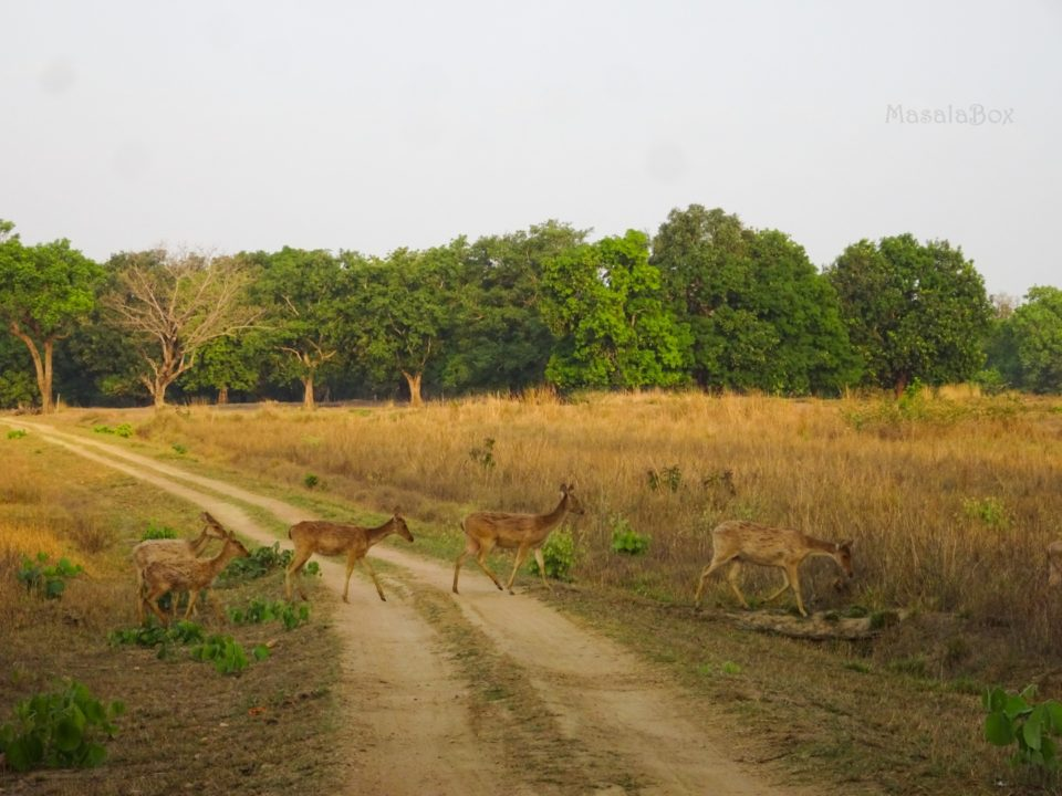 swamp deer Kanha National PArk
