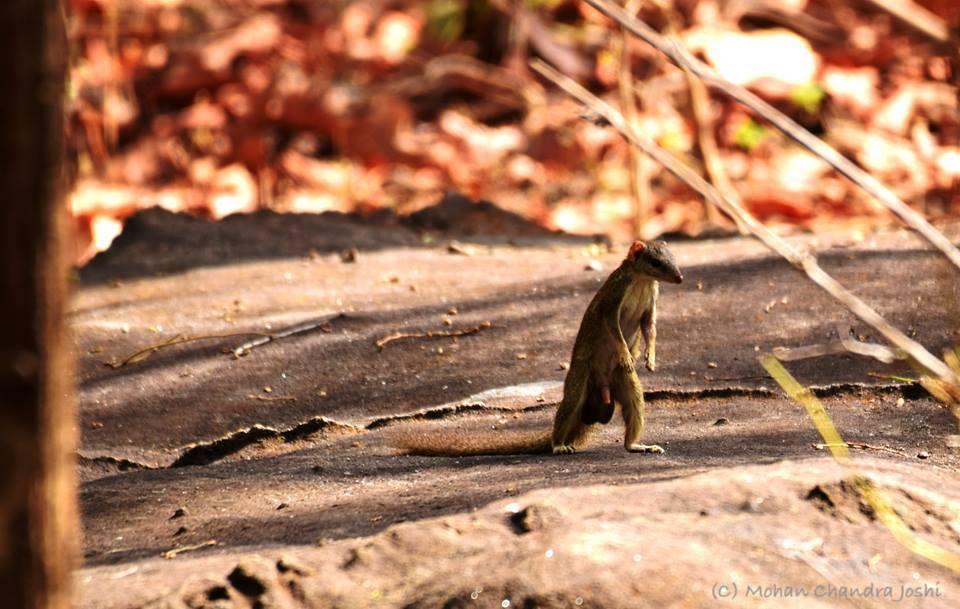 treeshrew Treeshrew pic taken by naturalist Mohan Chandra Joshi