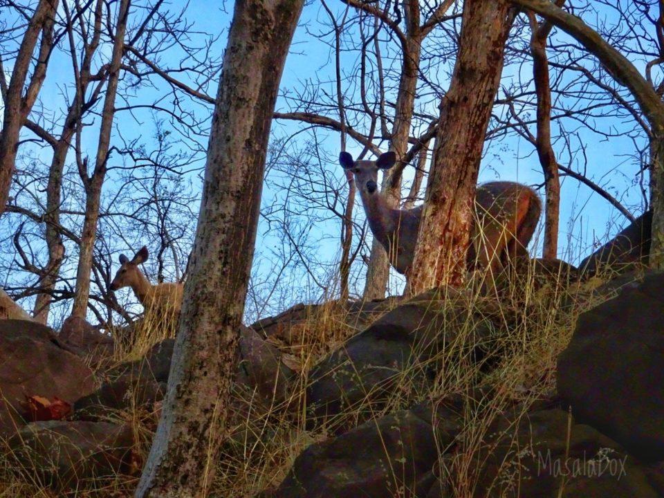 Sambar deer Satpura