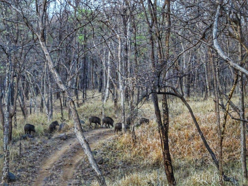 boar family Satpura