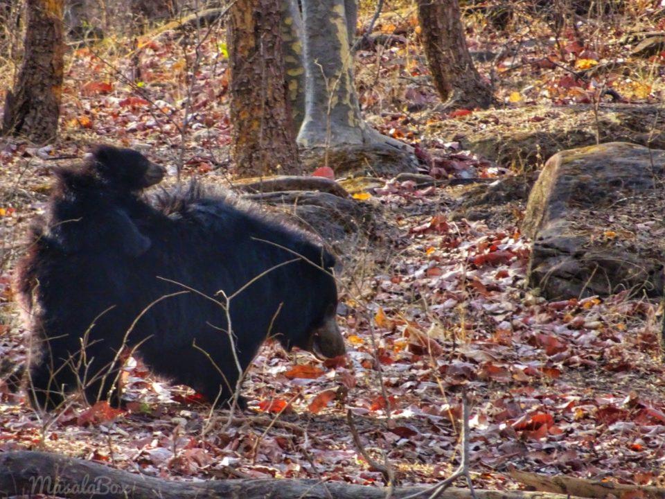 sloth bear with cub Satpura National Park