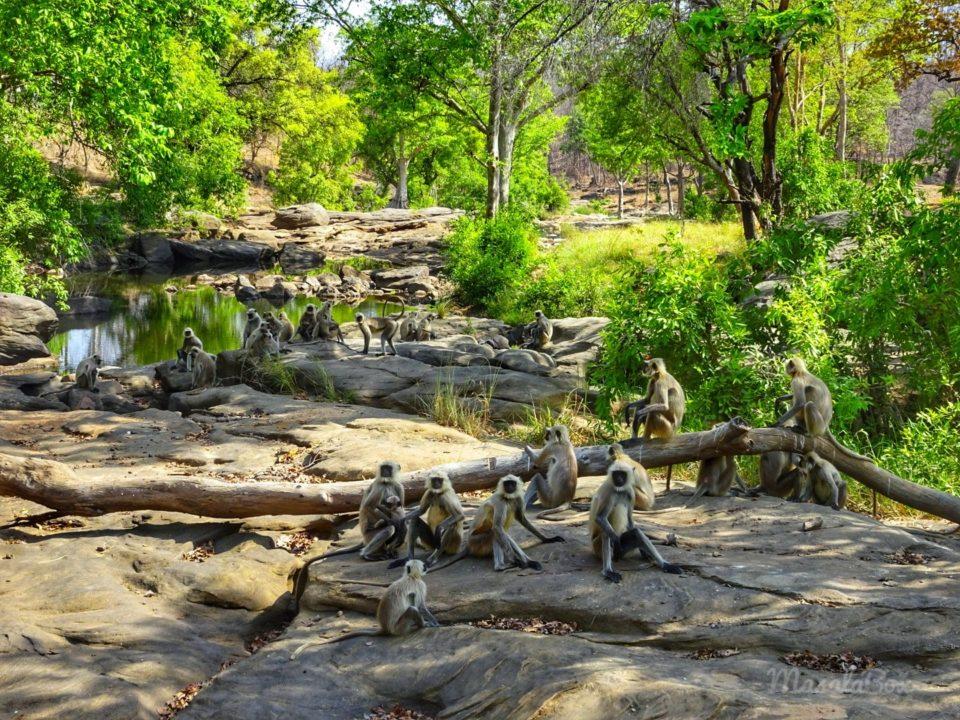 langur Satpura National Park