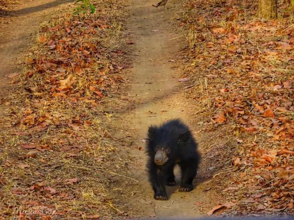 sloth bear cub Satpura National Park