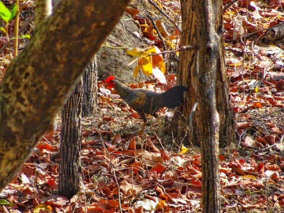 Brown jungle fowl Satpura National Park