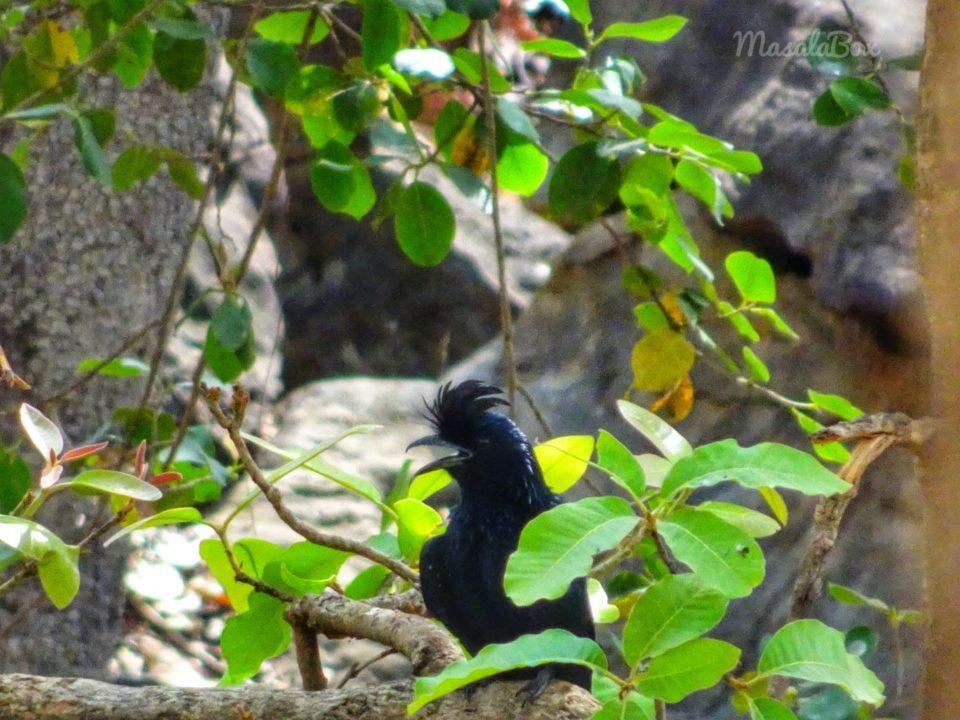 drongo Satpura National Park