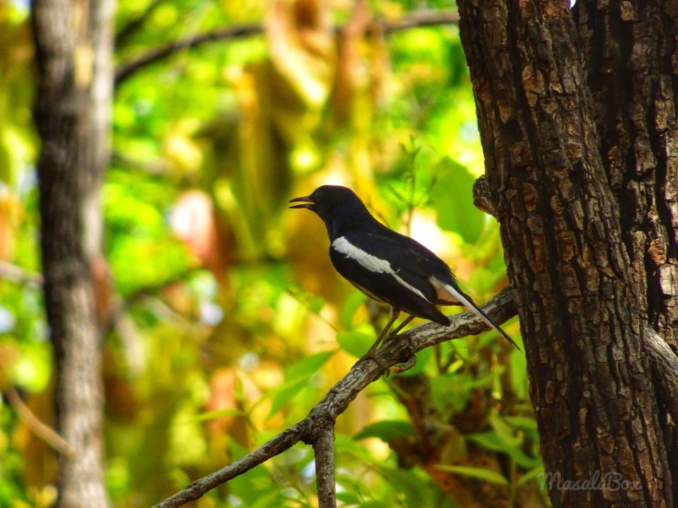 Oriental magpie Satpura National Park