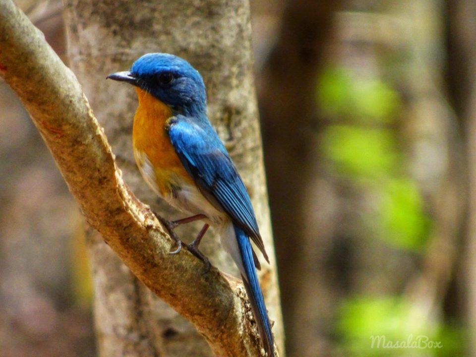 tickles blue flycatcher Satpura National Park