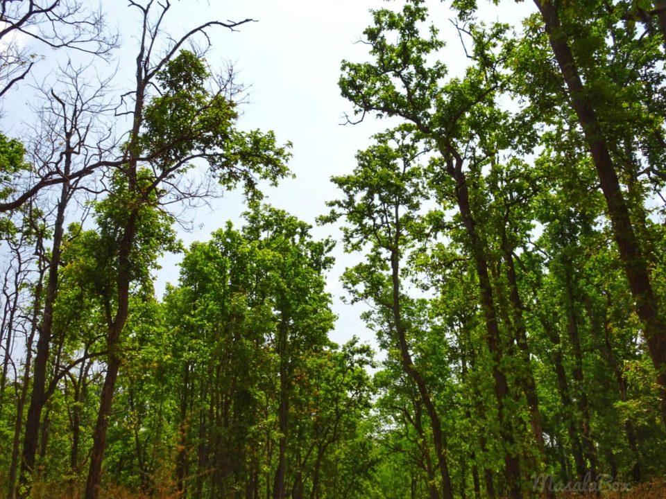 sal trees Kanha national park