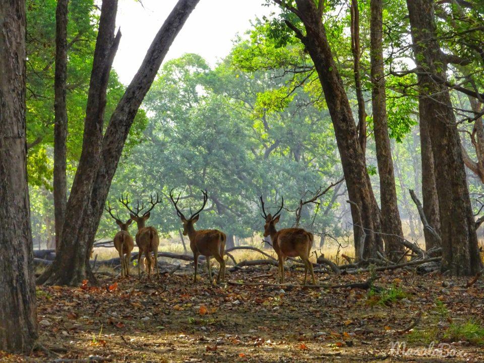 Barasingha at Kanha National Park