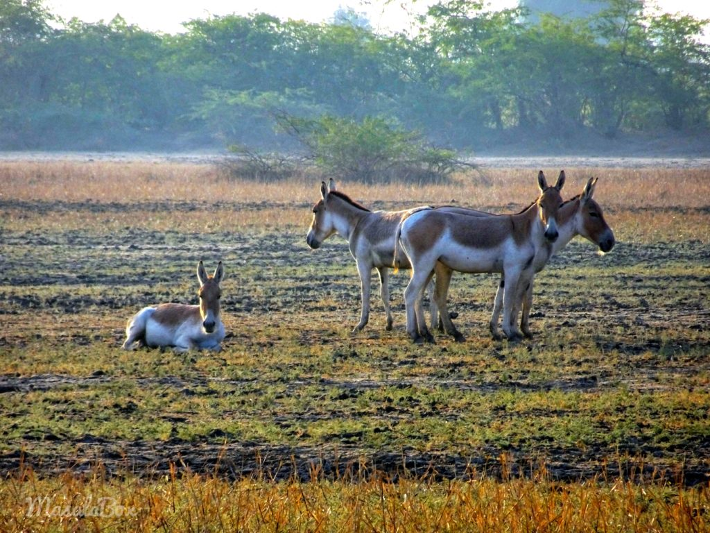 Indian Wild Ass resting at Little Rann of kutch