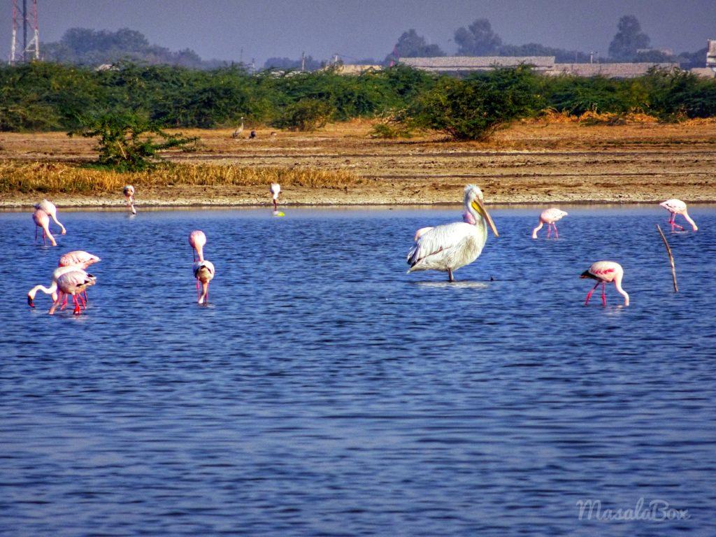 Pelicans and Flamingos