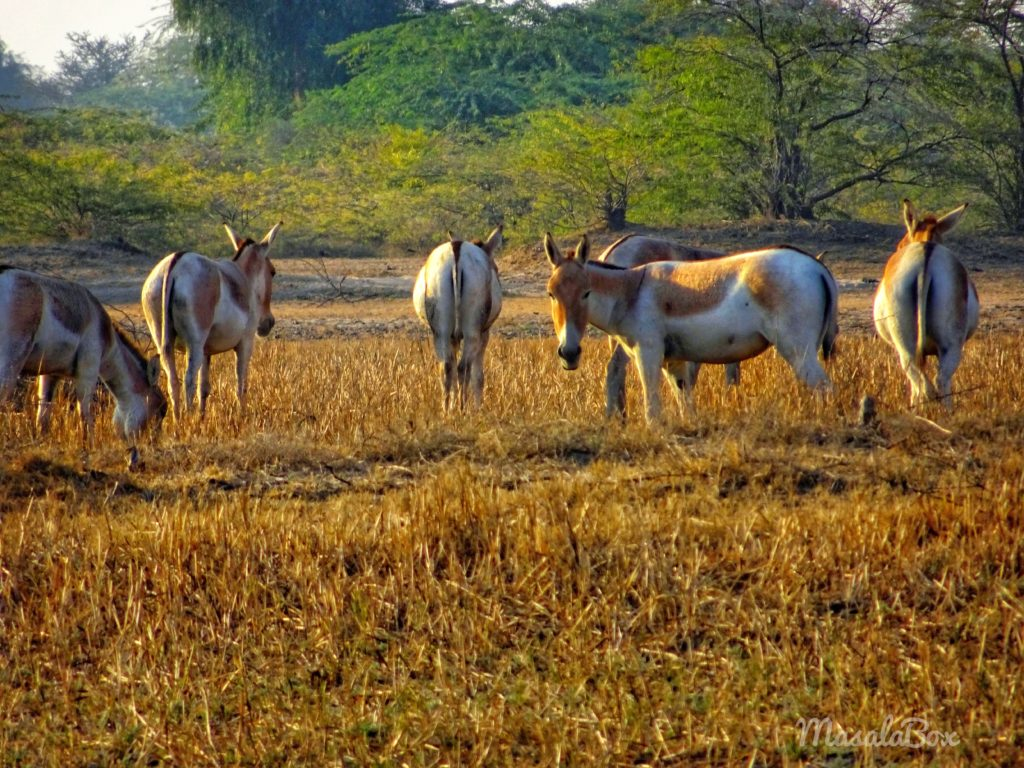 Indian Wild Ass sanctuary