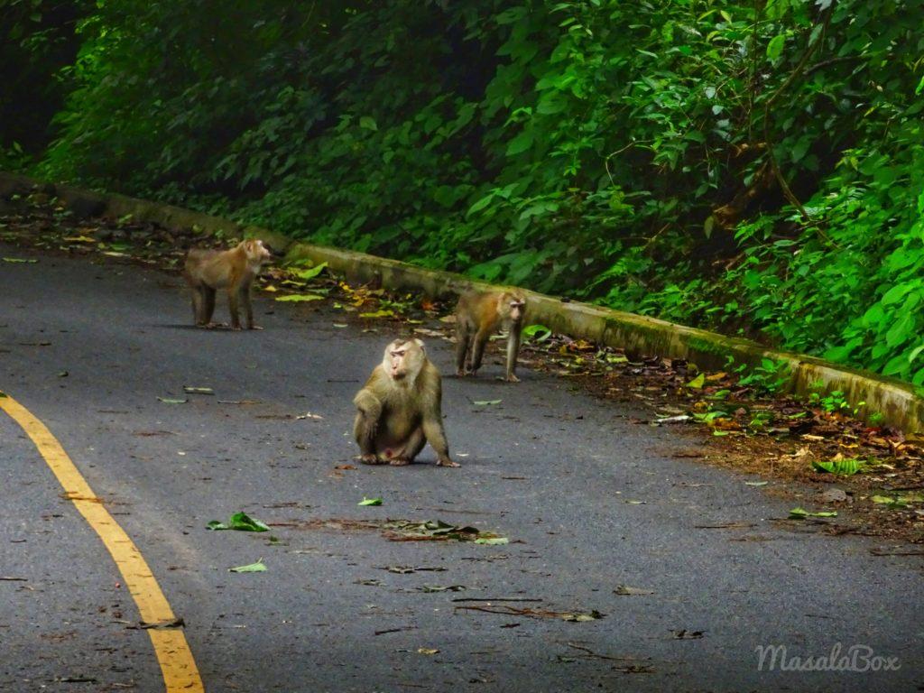 Macaque khao yai