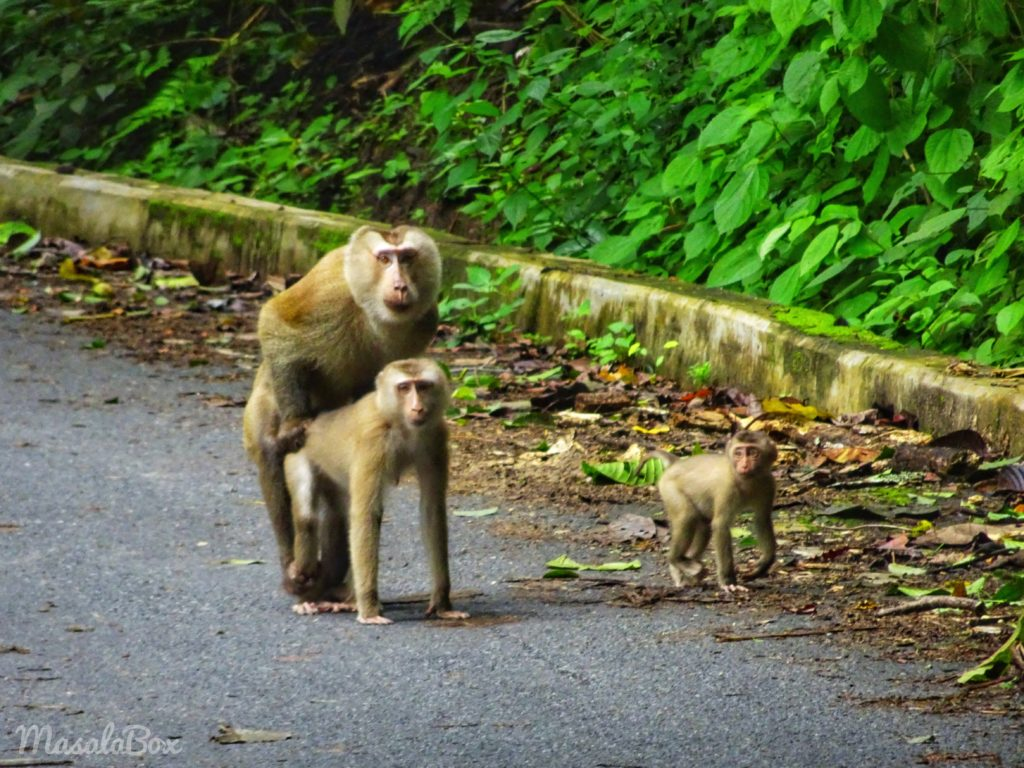 Macaque mating