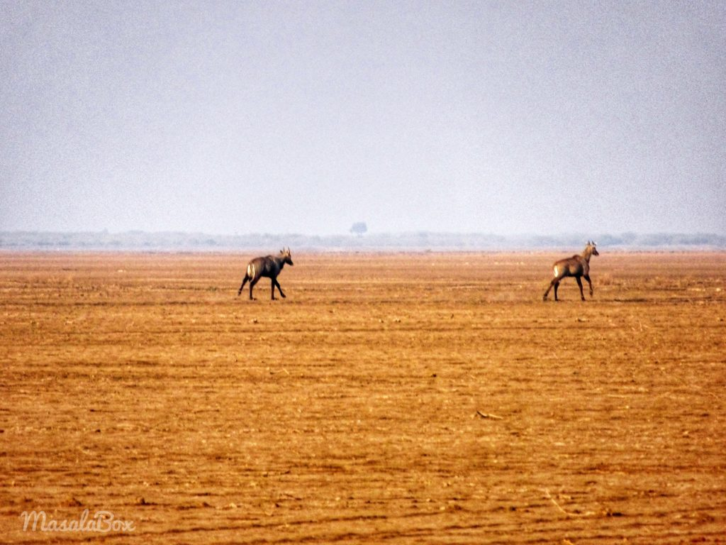 Nilgai Little rann of hutch