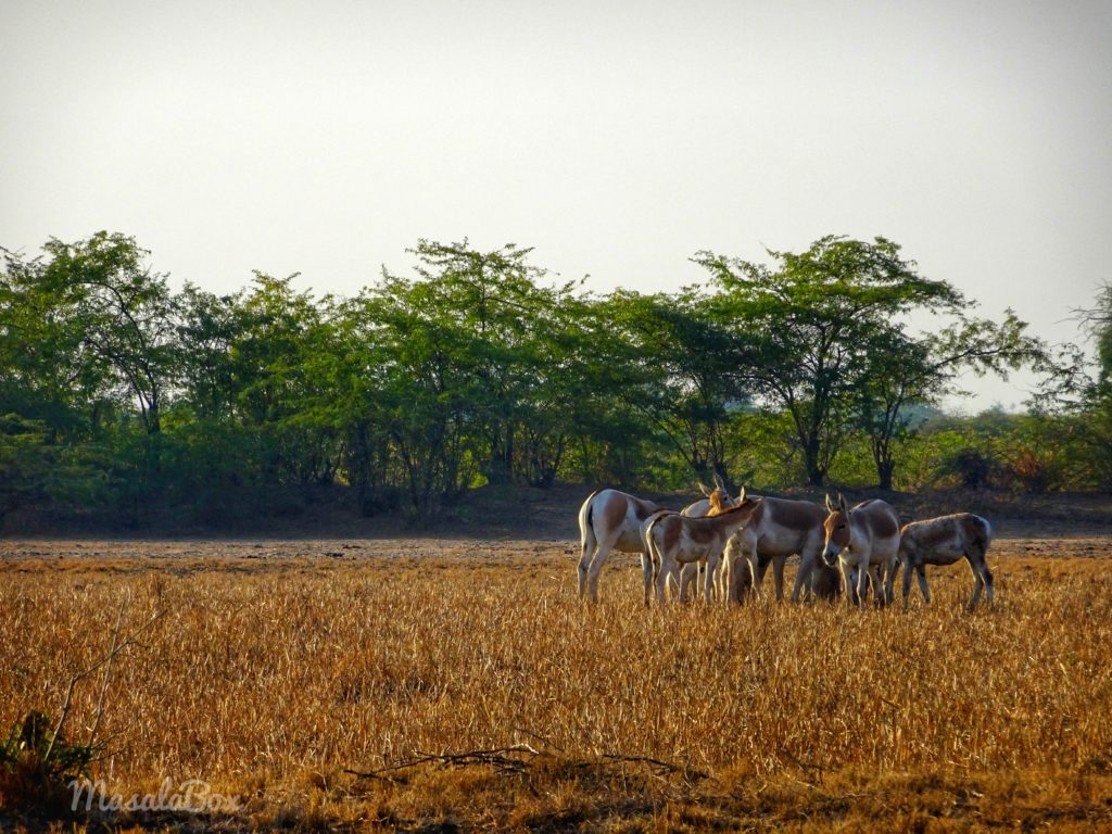 Indian wild ass herd grazing at Little Rann of Kutch