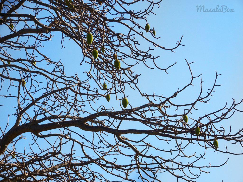 mandu ki imli on baobab tree